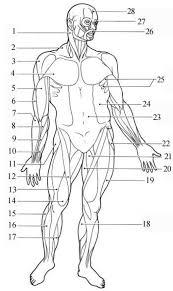 Human Anatomy And Physiology Final Exam Human Body Diagram Printable Human Anatomy Physiology Final Exam