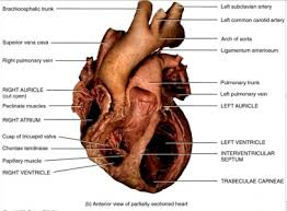 Sheep Heart Anatomy Quiz Studydroid Flashcards On The Web And In Your Hand