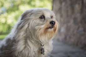 bichon frise vs yorkie what are the differences between maltese and havanese dogs cuteness