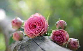 pink and roses meaning of flowers symbolism of flowers herbs and trees the