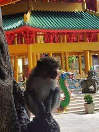 surviving a monkey attack in koh phi phi thailand explore