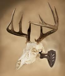 skull hooker european skull mount bracket robust brown whitetail