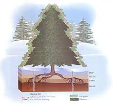 keep a living christmas tree nature community mother earth news