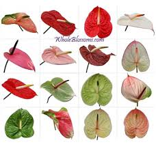 anthurium flower buy wholesale anthurium flowers in bulk anthurium flower