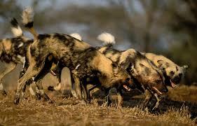 safari ltd african wild dog african wild dog african wildlife foundation