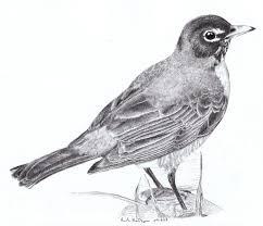 of robin birds