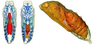 3 d scans reveal caterpillars turning into butterflies phenomena