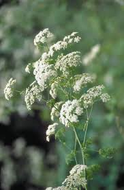 colorado native plants list 130 best colorado noxious weeds include watch list images on