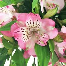 peruvian lilies with pink edges peruvian