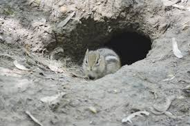 chipmunk control and treatments for the home yard and garden