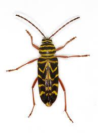 Indiana travel bug images Zoology strange striped insect identification northern indiana jpg