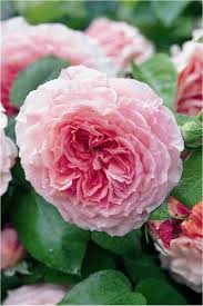 835 best roses images on pinterest flowers garden roses and