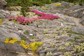 cultivating alpine plants for rock gardens space for life