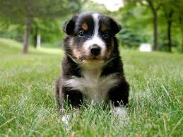 images of australian shepherd australian shepherd wallpapers wallpaper cave