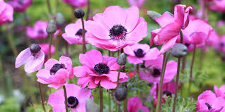 anemones flowers history and meaning of anemones proflowers