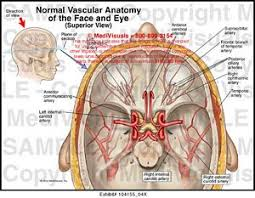 Vascular Anatomy Of The Brain Normal Vascular Anatomy Of The Face And Eye Medical Exhibit
