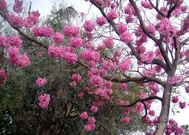 pink flower tree amazing pink flower tree february in california photograph by