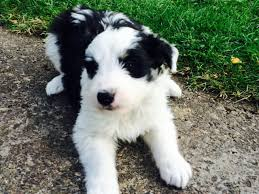 bearded collie and border collie mix stunning bearded cross border collie berwick upon tweed