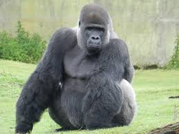 this gorilla is causing quite a stir when he turns around you u0027ll