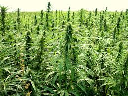 native north carolina plants dea holds up industrial hemp in north carolina mountain xpress