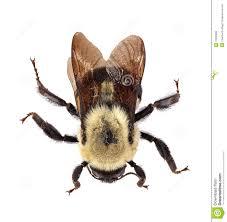 common eastern bumblebee bombus impatiens royalty free stock