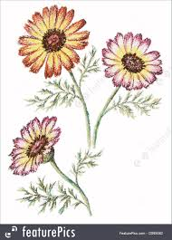 picture flowers of a chrysanthemum