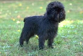 affenpinscher illinois pawbe puppies for sale sell your puppies cutest dog contest