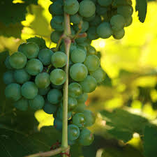 buy niagara grape vines for sale double a vineyards