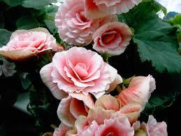 begonia flower how keep your potted begonia plants happy flower pressflower press