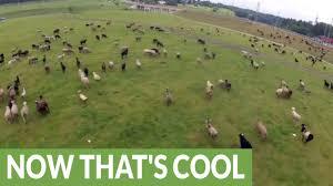 australian shepherd uses creative shepherd uses drone to herd sheep youtube