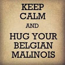 belgian malinois 101 youtube 12 best belgian malinois images on pinterest german shepherds