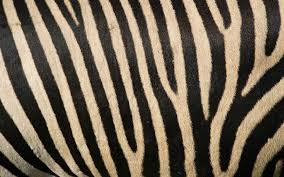 Zebra Bedroom Wallpaper Animal Wallpapers Zebra Stripes Wallpaper 1920x1200 Pixel Exotic