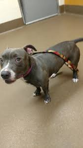 pitbull halloween background pit bull dachshund u003d album on imgur