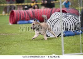 belgian sheepdog agility dog agility stock images royalty free images u0026 vectors shutterstock