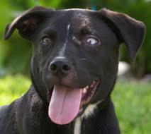 australian shepherd lab puppy available dogs new