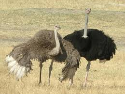 images of ostrich funny 1400x1050 wallpapersostrich sc