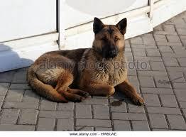 belgian sheepdog alberta shepherd boxer stock photos u0026 shepherd boxer stock images alamy