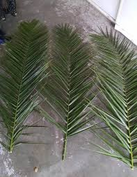 date palm fronds u2013 hardy palm tree farm