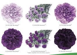 purple carnations moon series carnations pinteres