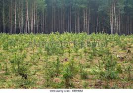 small pine trees stock photos small pine trees stock images alamy