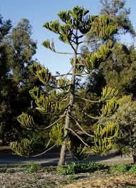 south australian native plants san diego plant pictures