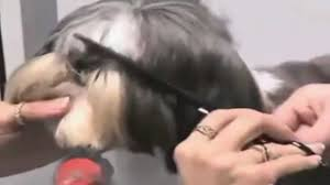 shih tzu haircuts shih tzu haircuts youtube