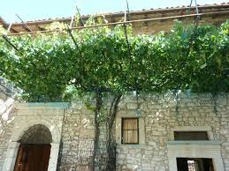 the vine tree that planted 500 years ago picture of