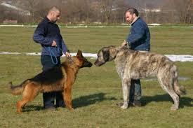 belgian shepherd x mastiff anatolian mastiff turkish mastiff turkish shepherd dog