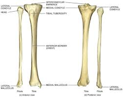 anatomy of tibia and fibula gallery learn human anatomy image