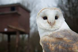 What Does A Barn Owl Look Like Barn Owl Box Tips Encouraging Owls To Nest