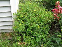 Flowering Shrubs New England - fafardgarden weeds