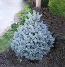 aliexpress buy sale unique blue spruce seeds picea tree