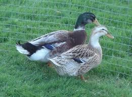 35 best duck breeds images on duck breeds duck duck