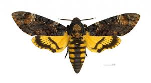 12 facts about the death39s head hawkmoth mental floss in the